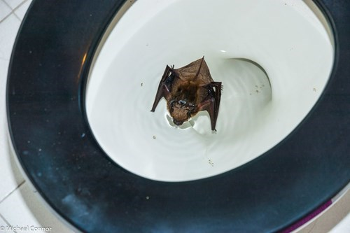 Michael Conner toilet bat rescue - 609285