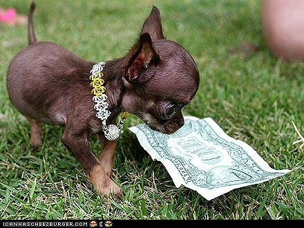 around the interwebs,boo boo,chihuahua,dogs,money,people pets,small,tinu