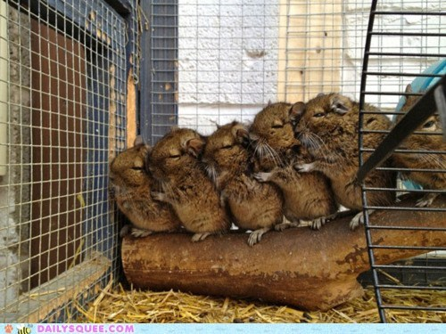 cage conga fuzzy line rodents together whatsit wednesday - 6094915840