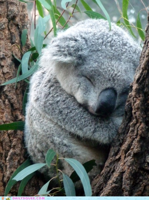eucalyptus,koala,sleep,squee spree,tree