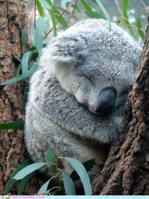 koala sleep squee spree tree - 6095064064