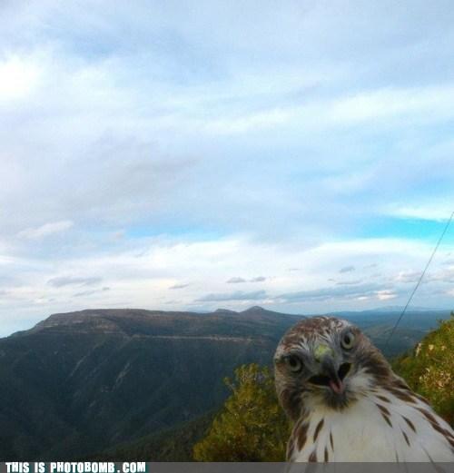 Animal Bomb Awkward hawk nature outside