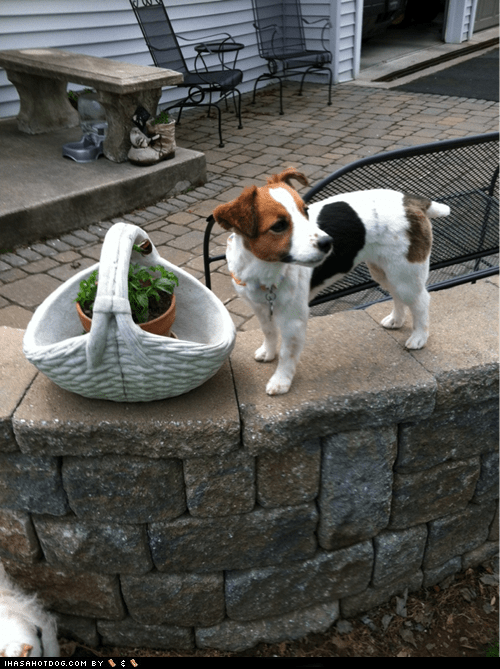 goggie ob teh week,jack russell terrier,plant