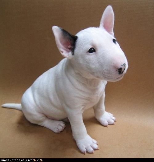 cyoot puppy ob teh day English bull terrier puppy