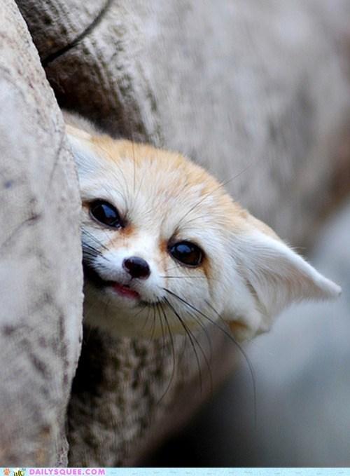 fennec fox heeee hide play squee spree - 6096177664