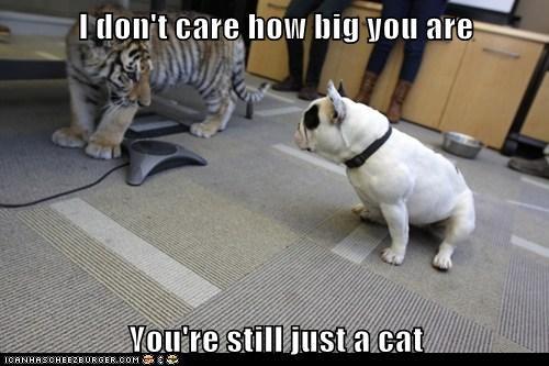 french bulldogs tiger - 6096891136