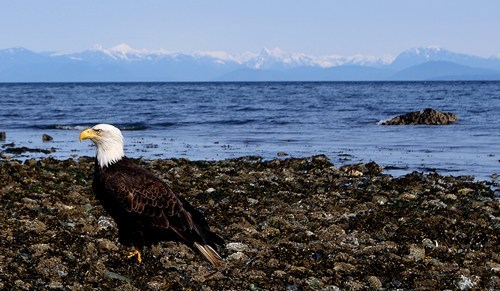 eagle,ocean,rocky beach,west coast