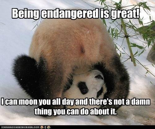 great panda taunting - 6098309120