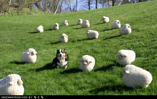 corgi dogs herding sheep - 6099984128