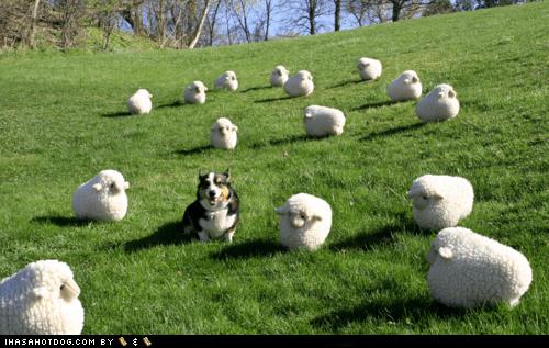 corgi herding sheep - 6099984128