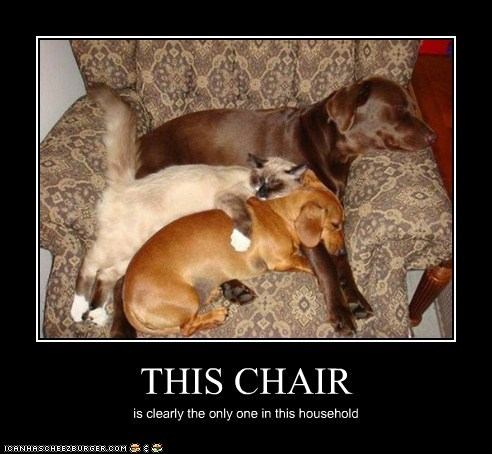best of the week,cat,Cats,chairs,daschund,dogs,Hall of Fame,Interspecies Love,labrador,sharing