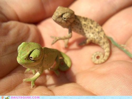 chameleon hand lizard tiny