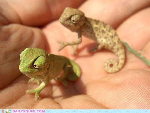 chameleon hand lizard tiny - 6103691520