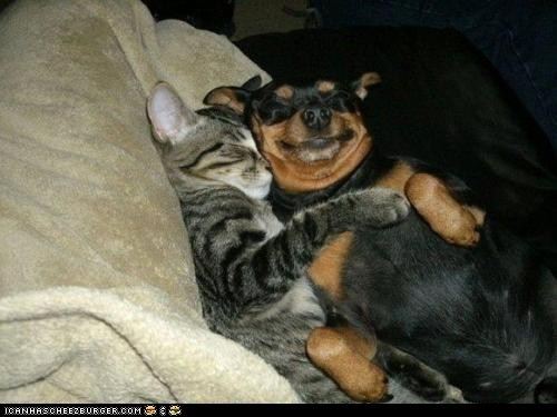 Cats cuddles cuddling dogs goggies r owr friends Interspecies Love napping naps sleeping - 6103717120