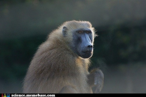 ape baboon learning Life Sciences