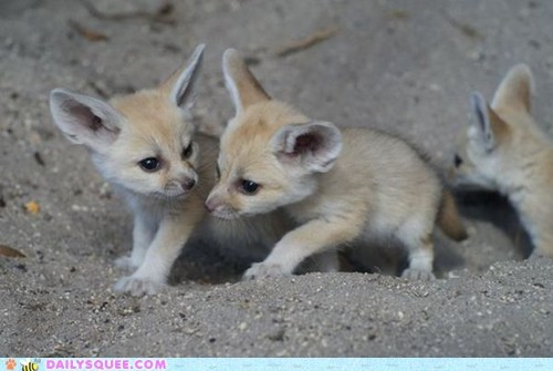 Babies,fennec fox,fennec foxes,kits,sand,squee,squee spree,tiny