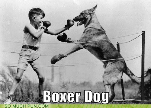 boxer boxing breed dogs double meaning literalism - 6106736640