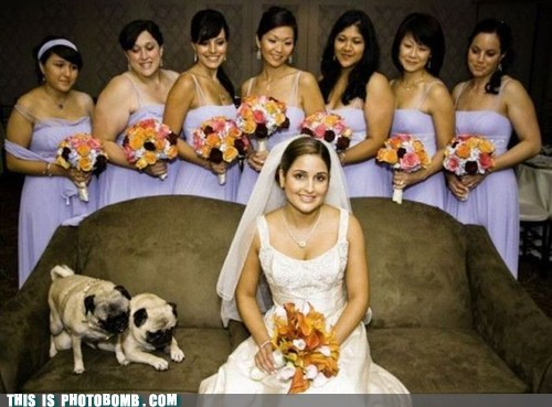 Animal Bomb,animals,bride,bridesmaids,dogs,wedding
