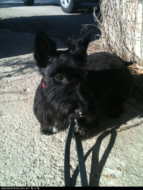 goggie ob teh week,scottish terrier,walk