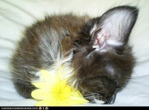 big ears,Cats,cyoot kitteh of teh day,ears,Flower,flowers,sleeping