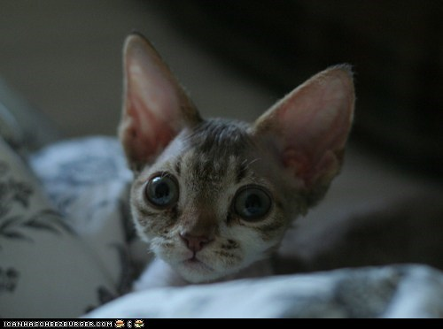 big ears big eyes Cats cyoot kitteh of teh day kitten squee - 6109255936