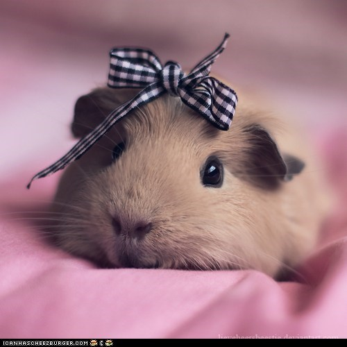 bow bows fashion gpigs guinea pig guinea pigs Hall of Fame pink pretty squee - 6109308160