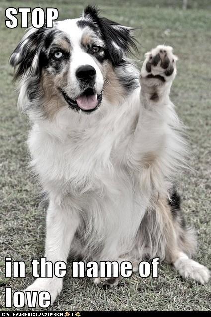 austrailian shepard dogs love