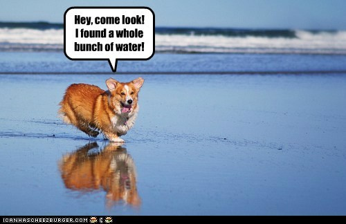 corgi,dogs,ocean,water