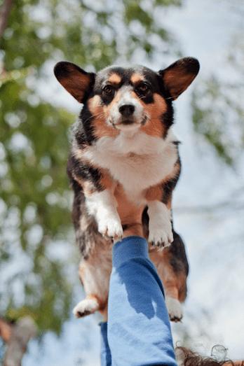 corgi cute dogs flying dog Photo Sundog - 6115192832