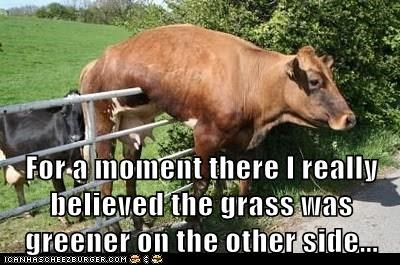 cows disappointment fence grass greener other side stuck - 6118294528