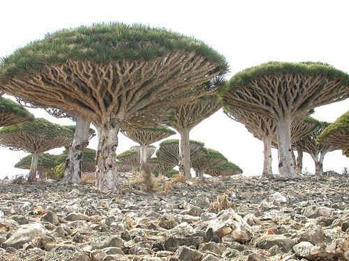 desert,Hall of Fame,tree,yemen