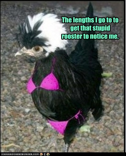 bikini chicken desperate love notice me rooster - 6119527424