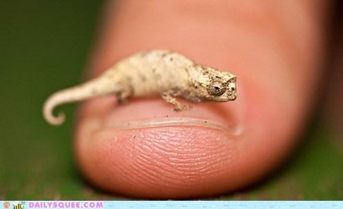 chameleon finger lizard manicure nail tiny - 6121064192