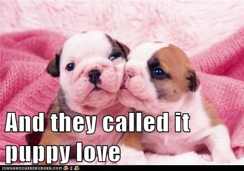 bulldog,cyoot puppy ob teh day,KISS,puppy