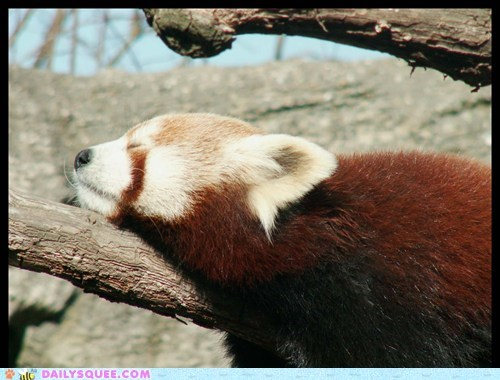 branch red panda sleep squee spree sunshine tree - 6121458688