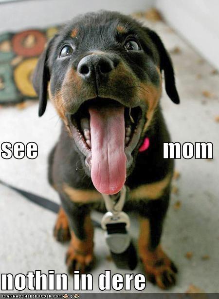 puppy rottweiler - 612279552