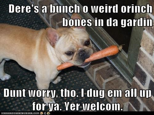 bones,bulldog,carrot,carrots,confused,disasters,dogs,dumb,food,gardens,messy