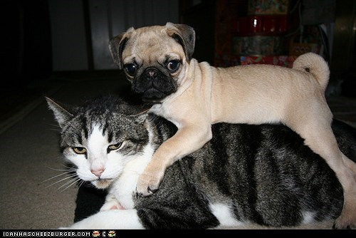 Cats do not want dogs get it off get off goggies r owr friends Interspecies Love noble steed on top onward pugs riding - 6124274176
