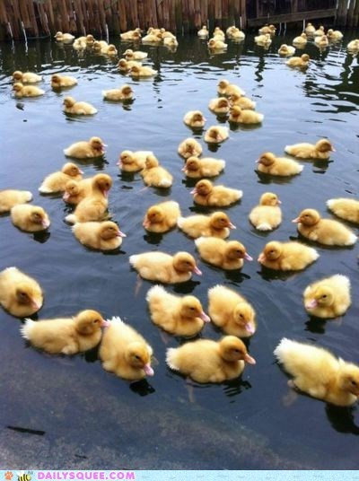 ducklings ducks float Hall of Fame swim water - 6124721408