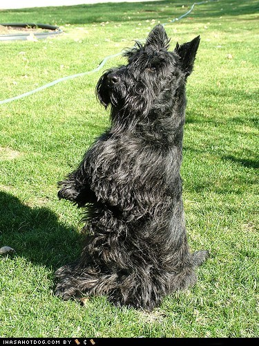 begging goggie ob teh week scottish terrier