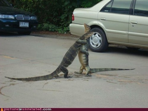 hug it out komodo dragon lizard wtf