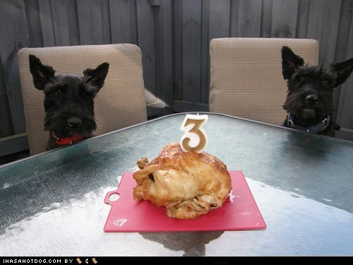 birthday chicken goggie ob teh week scottish terrier
