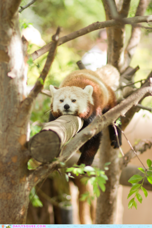 branch,lazy,red panda,relax,squee spree