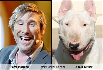 animal bull terrier dogs funny peter macleod