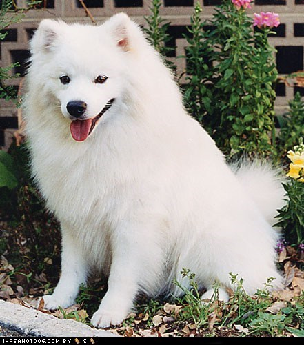 american eskimo dog face off goggie ob teh week - 6133698560