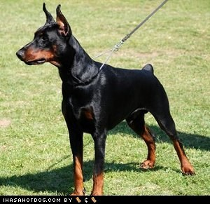doberman pinscher dogs face off goggie ob teh week