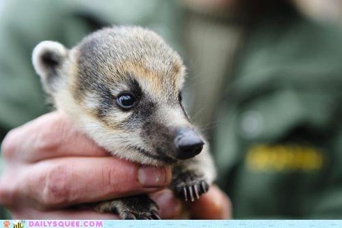 baby,coatimundi,zoo