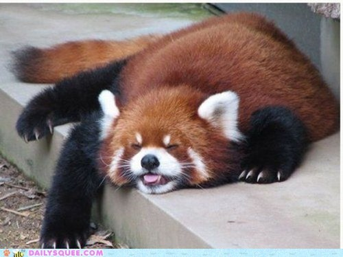 derp lazy red panda red pandas sleep sleeping squee spree tired tongue tongue out - 6134222336