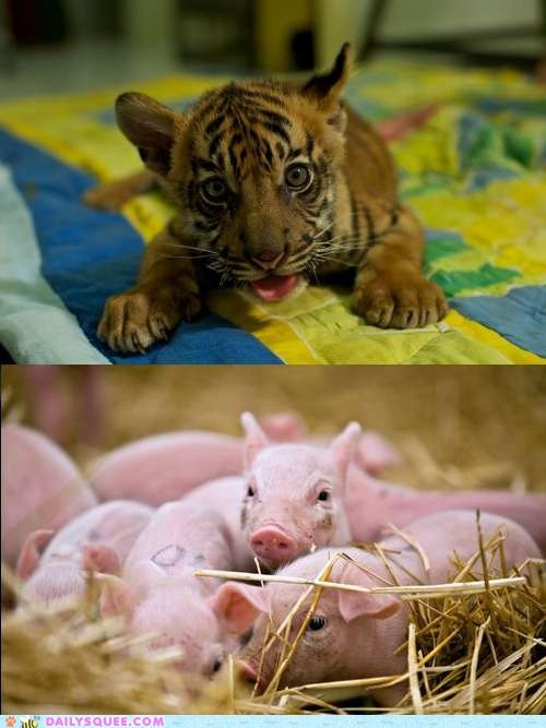contest,piglets,squee spree,tiger cub,vote