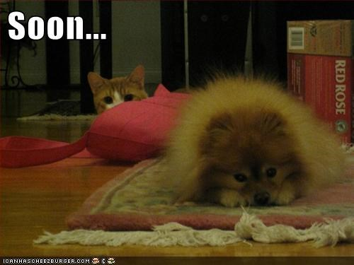 attack pomeranian pounce SOON - 6135184384